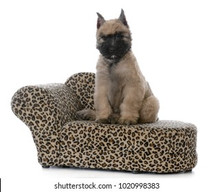 bouvier des flandres female puppy sitting on  a dog couch on white background