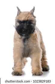 bouvier des flandres female puppy standing on white background