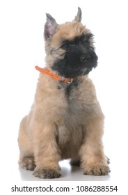 bouvier des flandres female puppy sitting on white background