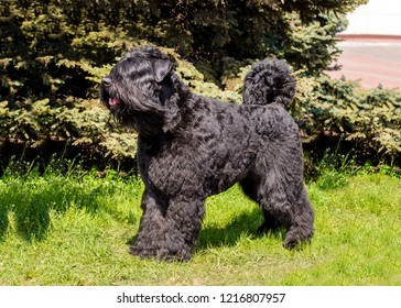 The Bouvier des Flandres stands on the green grass.