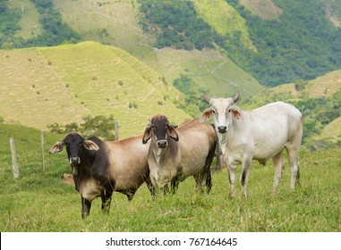 Bovine animal in the fields of Colombia
