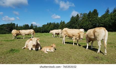 bovine, Blonde, d' Aquitaine