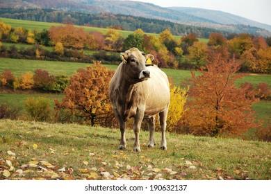 Bovines grazing on autumn in the foothills of mountain range Jeseniky, Moravia, Czech Republic