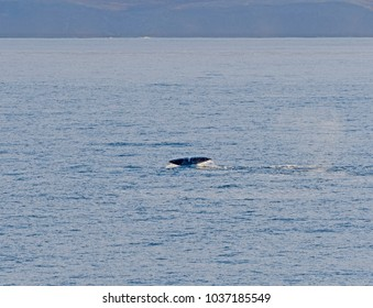 Bowhead whale flukes in the arctic in Isabella Bay of the  Ninginganiq National Wildlife Area on Baffin Island in Nunavut, Canada
