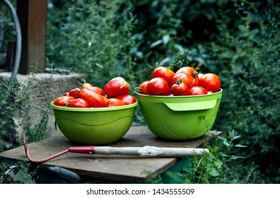 Bowl full of fresh picked ripe tomatoes at greenhouse. Natural farming concept.