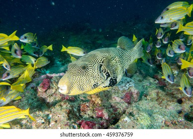 A box fish in the reef background in maldives