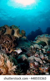 Box fish swims over colorful reef deep in the Indian Ocean