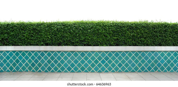 Box hedge with green leafs isolated