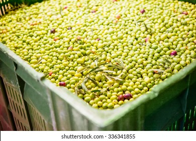 Box of olives at a cold-press factory after the olive harvesting in one of the sicilian villages.