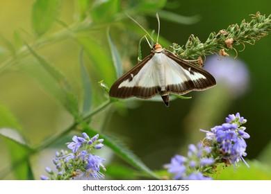 The box tree moth