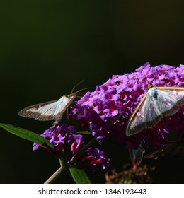 box tree moth butterflies eating nectar on the flowers of a butterfly-bush.  Cydalima perspectalis  is an invasive species destroying boxwood .