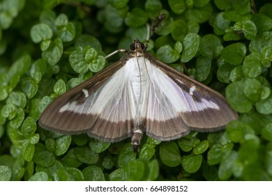 Box tree moth (Cydalima perspectalis). Insect in the family Crambidae, introduced into Europe and a pest species of box (Buxus sp.)