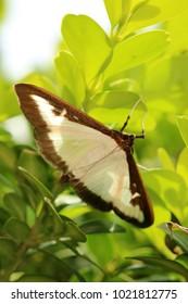 Box tree moth, Insecta