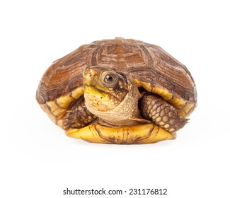 Box Turtle coming out of his shell