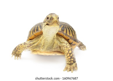 Box turtle isolated in front of white background.