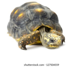A box turtle isolated on a white background