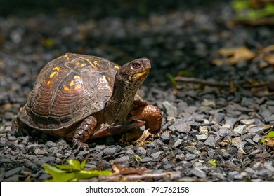 Box Turtle (Terrapene carolina) in the woodlands of northern jersey