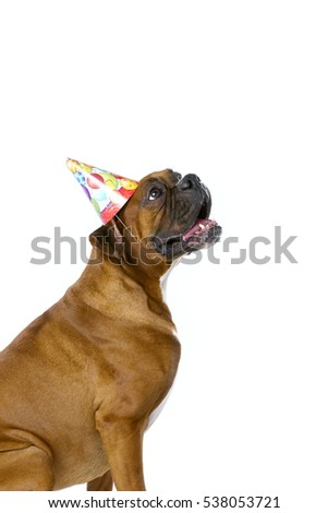 Boxer Dog With Birthday Hat Isolated On White Background