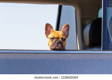 Boxer Dog in Car