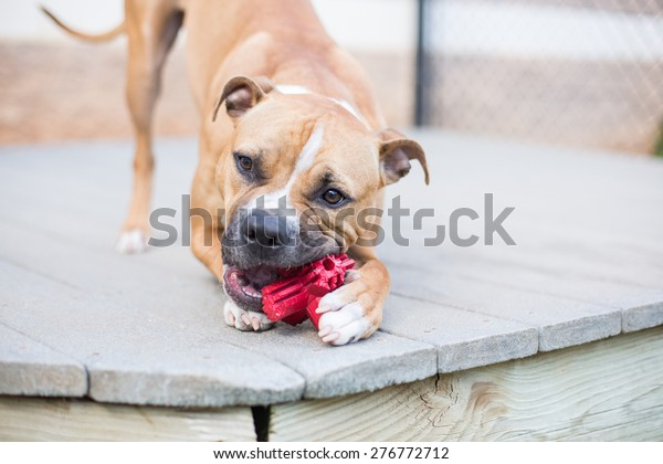 Boxer dog chews toy outside on deck