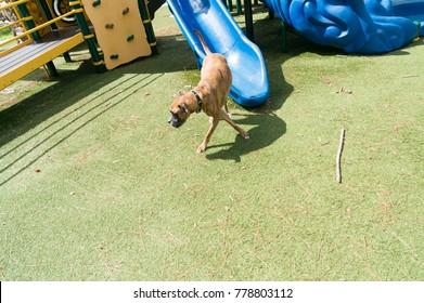 boxer dog fetch