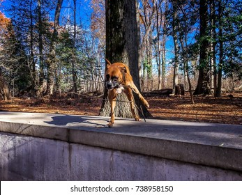 boxer dog fetches a stick in the forest