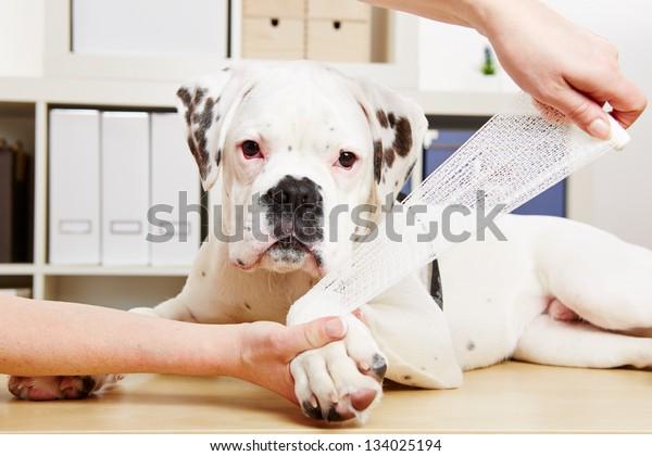 義和団の犬は獣医に脚をけがして包帯を取られる