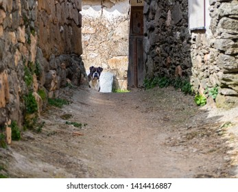A boxer dog looking at the camera on the street of a village