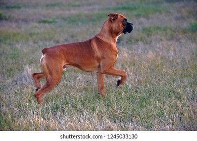 Boxer Dog Male standing in meadow, profile view, watching alert.