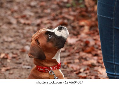 Boxer dog obediently sitting