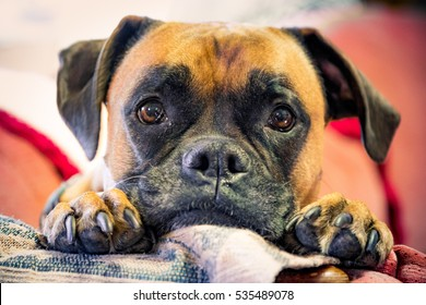 A boxer dog on a couch