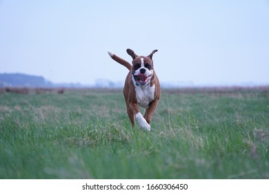 Boxer dog in outdoor enviroment