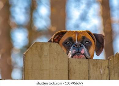 Boxer Dog Peeking Over Wood Fence