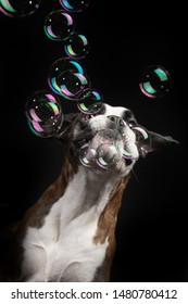 Boxer Dog playing with Bubbles