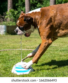 Boxer dog playing with fountain water