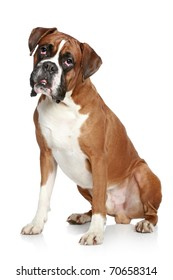 Boxer dog portrait on a white background
