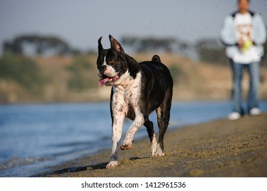 Boxer dog running along shoreline with owner in the background