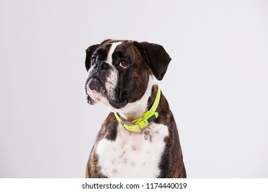 Boxer dog with a sad look