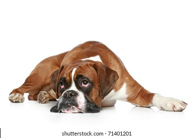 Boxer dog sad, lying on a white background