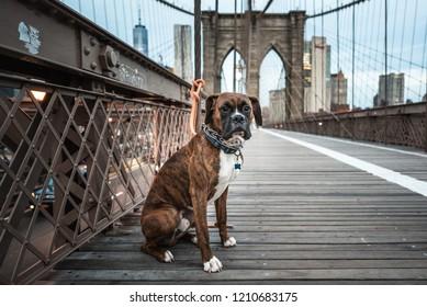 A Boxer dog sitting on Brooklyn Bridge