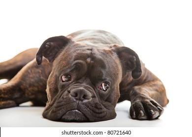 Boxer dog in studio