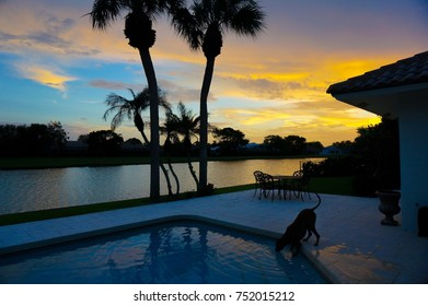 boxer dog taking a refreshing drink from a swimming pool at sunset
