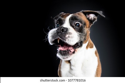 boxer dog trying to catch treat