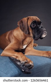 Boxer dog with TV remote control on the blue couch.
