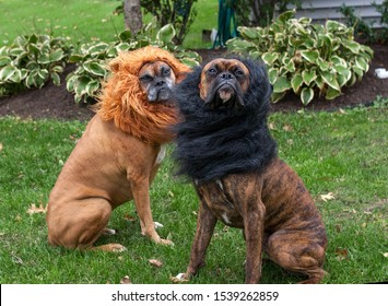 Boxer dogs Lions Dress up Halloween costume ferocious