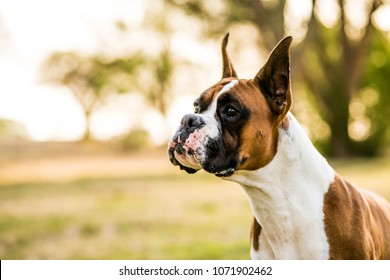Boxer Dogs Playing at the Park
