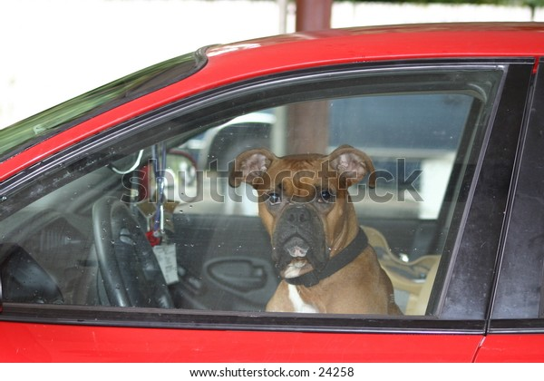 boxer driving red car