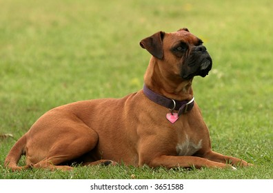 Boxer looking up at something