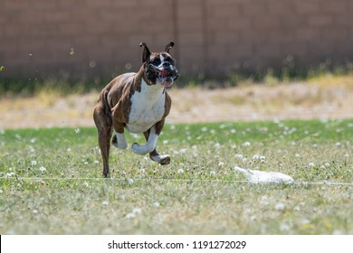 Boxer making a face chasing a lure