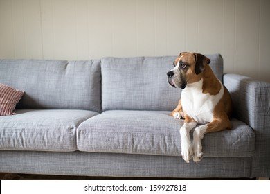 Boxer Mix Dog Laying on Gray Sofa at Home Looking in Window